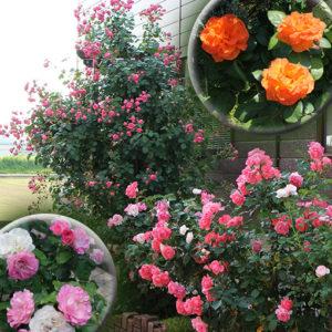 ガーデニングで満開のバラ
